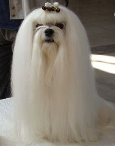 The Breed Profile For The Maltese Dog