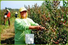 Fair Trade certified blueberries being harvested for Interrupcion #workers #farmers #Fairtrade