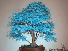 Blue Maple Bonsai