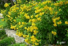 Gold Star Esperanza - 4 to 5 feet tall, this late bloomer is a zone 9 plant that will only make it thru mild winters here in North Texas, it looks like mine may make it this year!