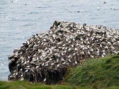 Gannet Colony, Bird Rock, Cape St. Mary's Ecological Reserve, Newfoundland, Canada.