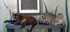 Bengal Cat left & Geoffroy's Cat right.