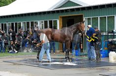 Caption:  American Pharaoh gets bath with media watching at Belmont Park on June 2, 2015. <br /> Scenes and horses on track in preparation for Belmont Stakes day on June 6, 2015, in Elmont, N.Y.<br /> Worksfor6_3_15 image148<br /> Photo by Anne M. Eberhardt