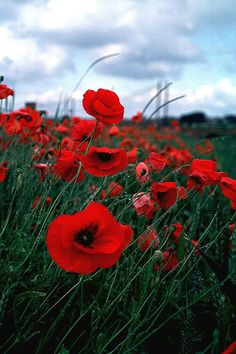vibrant red poppy flowers.......front yard