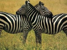 LOVE ZEBRAS! It's so cute how they rest their heads on each other like this.