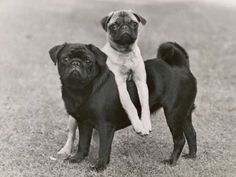 Pugs Love Posing! Such Hams! Lol! :)