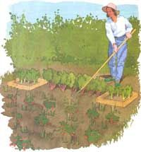 Companion Planting:    Strawberries and Borage love each other, and improve each other's growth and health quite a bit! But did you know...    You can plant an asparagus and strawberry garden bed to last a lifetime, and add in rhubarb and horseradish as a bonus. Decades later, those plants will still be producing for you!