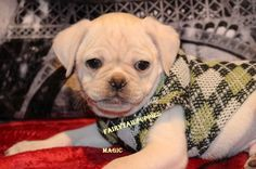 """Fairytailpuppies """"where pets are family too - MAGIC"""