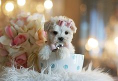 144 Best Maltese Puppies For Sale Images In 2019 Maltese Puppies