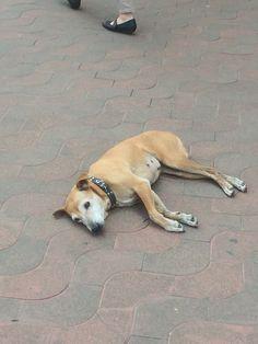India street dog
