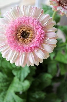 "STRAWBERRY LOLLIPOP GERBERA DAISY: 1) Perennial in zones 8-11 otherwise an annual 2) 18"" flower stalks 3) full sun 4) Attracts butterflies & hummingbirds 5) Use in containers or cottage gardens"