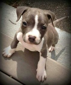 Baby puppy pitt bull