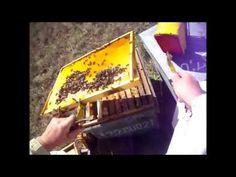Lejos de lo idílico que les parece a muchos el mundo de las abejas hay otra realidad, descubra como es el trabajo real del apicultora... En esta ocasión colo...