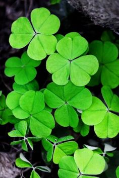 It is often in times of turmoil or economic problems that many people look for a good luck spell that works and this one does. Good Luck Spells, Jameson Distillery, Money Spells, Luck Of The Irish, Book Of Shadows, St Patricks Day, Spelling, Something To Do, Plant Leaves