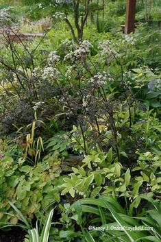 Anthriscus sylvestris 'Ravenswing' making a fine-textured echo of the limbed-up woody plants.