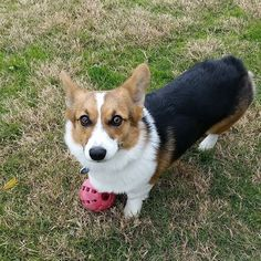 This is by far the cutest #corgi i have ever seen! Her name is Roxie. by jj_wheel23