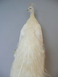 TAXIDERMY, ANTIQUE TAXIDERMY, VICTORIAN TAXIDERMY, CONTEMPORARY TAXIDERMY from London Taxidermy