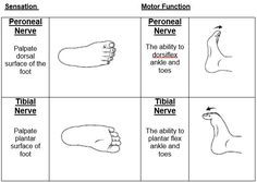 Neurovascular Ob Peroneal and Tibial Nerve Nursing School Humor, Nursing Memes, Funny Nursing, Nursing Schools, Nursing Quotes, Medical Humor, Nurse Humor, Rn Nurse, Compartments Of The Leg