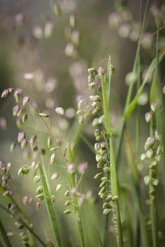 Briza media - Doddering Dillies Grass