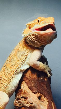 The Lifespan of a Bearded Dragon Depends on Proper Care - Exotic Bearded Dragons Funny Lizards, Pet Lizards, Cute Reptiles, Happy Animals, Cute Baby Animals, Lizard Tank, Cute Lizard, Bearded Dragon Cute, Pet Dragon