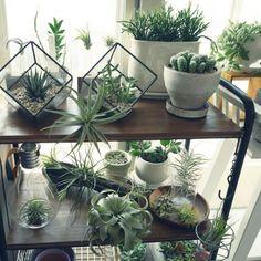 abeさんの、流木,キセログラフィカ,チランジア,エアプランツ,多肉植物,観葉植物,植物,サボテン,ビーカー,My Shelf,のお部屋写真