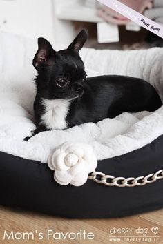 Looks just like my Jack! Black Chihuahua, Long Haired Chihuahua, Cute Chihuahua, Teacup Chihuahua, Chihuahua Puppies, Baby Puppies, Beverly Hills Chihuahua, Baby Animals, Cute Animals