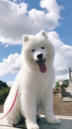 fluffy dogs and are some of the cutest. Check out all of our other Samoyed Dog photos updated weekly. Cute Fluffy Dogs, Fluffy Animals, Cute Dogs And Puppies, Baby Dogs, Cute Baby Animals, Pet Dogs, Pets, Labrador Puppies, Funny Puppies