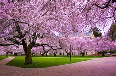 University of Washington, Seattle, my alma mater.....the spring cherry blossoms put you in another world.