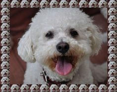 """Cash - WA is an adoptable Bichon Frise Dog in Olympia, WA.   Cashew """"Cash"""" is a mellow sweetheart looking for his forever home.  I want him! I love him!"""