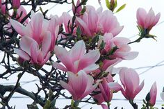 our magnolia blossoms