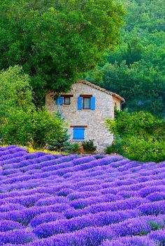 Lavender Field, Provence, France love the field, stonework on the house, & blue accents.