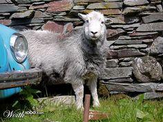 Junkyard sheep