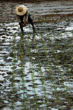 Planting rice, Philippines