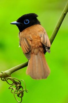 Beautiful Birds In the World, Asian Paradise Flycatcher