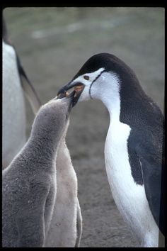 Pygoscelis antarcticus; Chinstrap Penguin feeding her baby fish right out of her mouth.