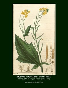 mustard-botanical-print-turpin-herbs-and-spices.jpg (2550×3300)