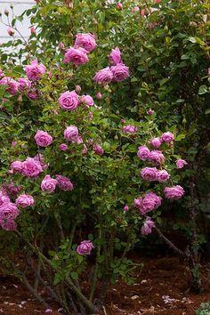 'Hermosa' a Bourbon/Hybrid China Rose | Carolyn Parker