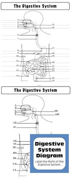 Digestive System Diagram For Kids Digestion Facts Infobarrel