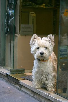 Paris Shop Westie by Karol Franks on flickr...just goes to show you that there are a couple good things in Paris.