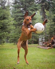 """687 Likes, 23 Comments - Rhodesian Ridgeback ® (@love_rhodesianridgeback) on Instagram: """"- Hey mom, soccer is my new favorite sport! ⚽️ Can we play it every day?? by…"""""""