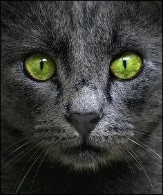 Green eyed gray cat, one of a kind