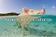 """Pig Beach is an uninhabited island located in Exuma, the Bahamas, and known for being populated by many swimming feral pigs."""
