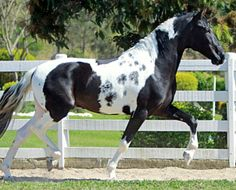 Mangalarga Marchador stallion Jogador Golden Horse. A gaited Brazilian breed developed from Portuguese Lusitanos and local mares. In addition to the walk and canter, itt has both a diagonal and lateral gait, marchas, but neither trots nor paces.