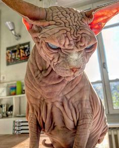 Hairless, Sinister-Looking Cat May Be Named The Scariest Feline In The World Gato Sphinx, Scary Cat, Rare Animals, Cool Cats, Cat Art, Cats And Kittens, Fur Babies, Funny Cats, Creatures