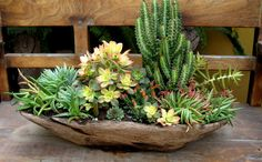 Succulents in an old wooden batea