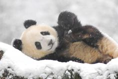 White Wolf: Giant Pandas Play In Snow At Chinese Nature Reserve (VIDEO)