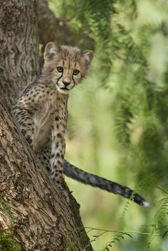 creatures-alive: Cheetah Cub by San Diego Zoo Global Absolutely adorable♥