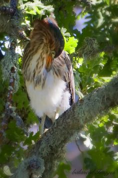 Green Heron fluffing its feathers