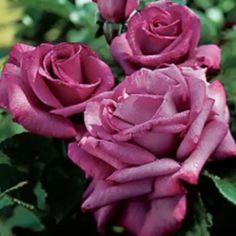 dark purple roses
