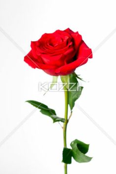 red rose standing upright - Red rose shot standing upright on a white background.